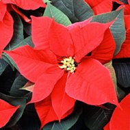 Poinsettia (Photo: Scott Bauer / USDA / Wikipedia)