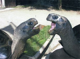 Tortoises Bibi and Poldi photographed at Reptilienzoo Happ in Klagenfur, Austria. (Barcroft Media /Landov)