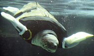 Yu, a female loggerhead turtle, swims after receiving her 27th pair of artificial front legs at the Suma Aqualife Park in Kobe on February 12, 2013. Yu lost her front legs during a shark attack. The rubber limbs are attached to a vest slipped over her head, said the aquarium's curator, Naoki Kamezaki