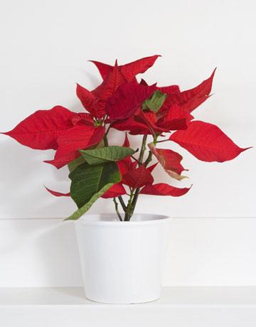 Don't Think That Poinsettias Are Poisonous
