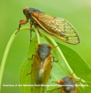 Billions of Cicadas to Emerge Along East Coast