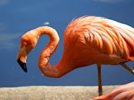 Flamingo (notice the downward beak)