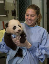 A caretaker holds the 100-day-old panda cub during his 12th exam Tuesday, Nov. 6.