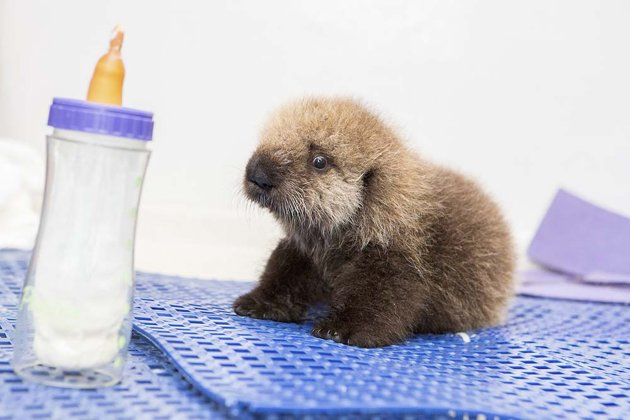 A five-week-old orphaned Southern Sea Otter pup rests on a rubber mat on October 28, 2014. (Reuters)