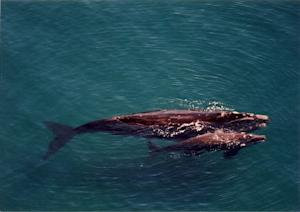 Worst-Ever Right Whale Die-Off Continues to Puzzle