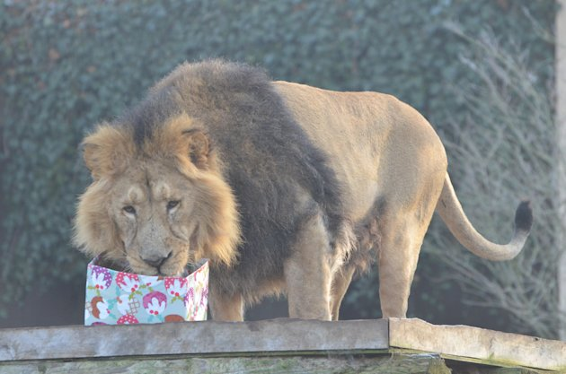Lucifer the lion digs into his gift (London Zoo)