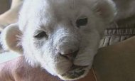 Dog Is Wet Nurse For Rare White Lion Cub