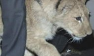 Russia: Lion Cub Found By Children Now At Zoo