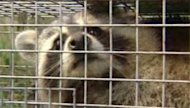Cases of canine distemper among raccoons have been on the rise in the Winnipeg area in recent months.