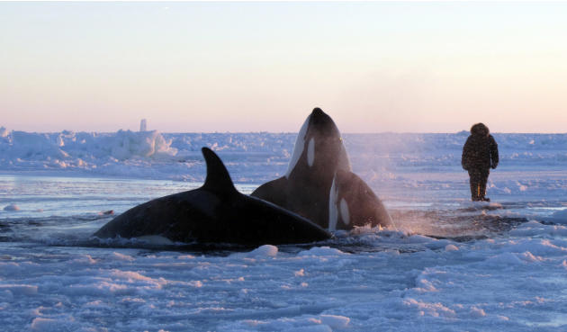 In this Tuesday, Jan. 8, 2013 photo provided by Marina Lacasse, killer whales surface through a small hole in the ice near Inukjuak, in Northern Quebec. Mayor Peter Inukpuk urged the Canadian governme