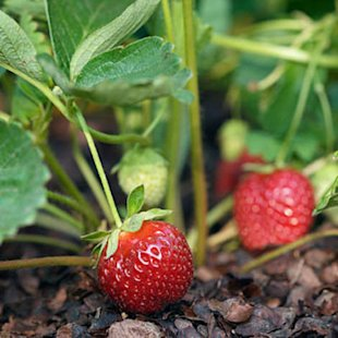 Strawberries from spring into fall