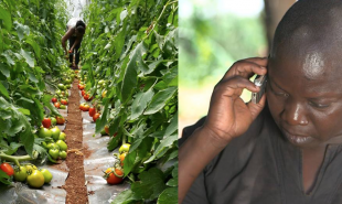 Kenyan farmers can subscribe to text service for localized agricultural advice