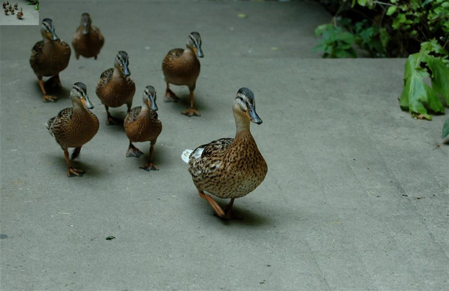 ducks being led