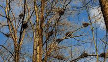 〈大自然的野味&野趣〉之五 溫哥華有座 百年「蒼鷺林」
