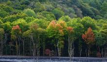 秋天偏暖 奧萬大楓紅延後中旬轉紅