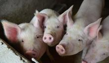 【Yahoo論壇/劉仕傑】從帛琉誓詞談非洲豬瘟