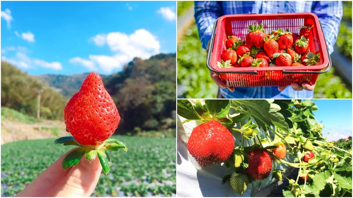 大湖草莓季提前開跑!超大顆「香水」「美姬」甜美熟透,即日起免費入園採