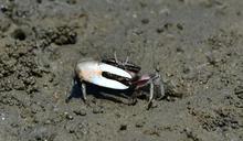 新竹香山濕地生態復育有成 招潮蟹、黑面琵鷺成長近10倍