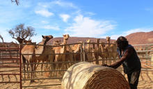 從澳洲花貓,想到駱駝
