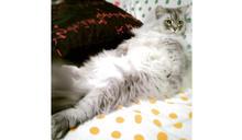 「阿嬤養的」胖胖貓狗好可愛?!小心高血脂併發症找上門