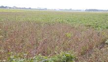 LED路燈光害擾生長 農民抱怨:黑豆開花卻不結豆莢