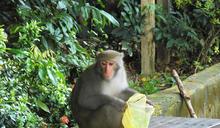 【應對人猴衝突】小心求證、多方嘗試 維繫平衡教戰守則