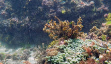 【Yahoo論壇/曾詩琴】海洋底下的綠色草原:海藻