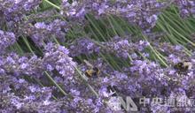 紫外線光暈引誘蜜蜂 花朵為授粉出奇招