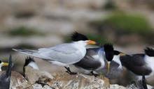 復育傳說中的神話之鳥 保育學者再聚馬祖