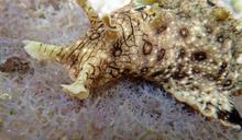 【Yahoo論壇/曾詩琴】海中的皮卡丘:海兔