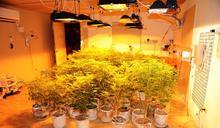 「白人寡婦、三重奶酪」大麻 專業育種房藏五股倉庫
