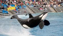 保育海洋,迪士尼有責?(下):失去海洋的黑鯨