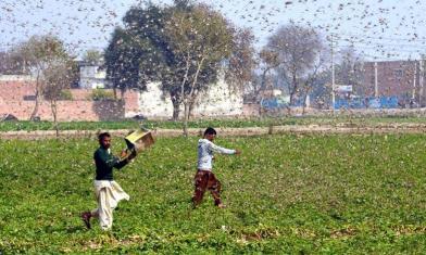 27年最嚴重 印度蝗蟲覆蓋天空