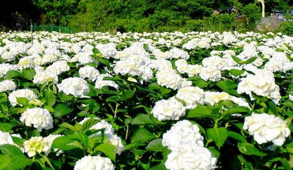 陽明山竹子湖 大賞園賞純白繡球花